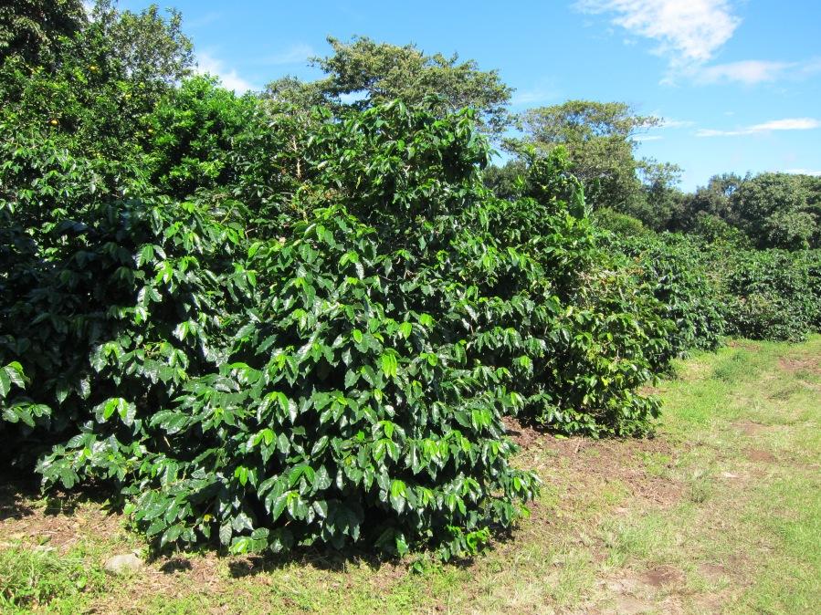 kava-plantaza